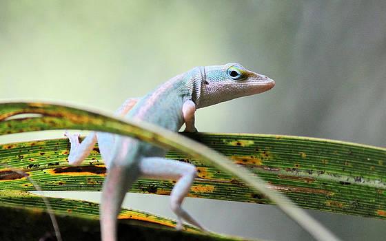 Suzie Banks - Lizard chillin on a Palm