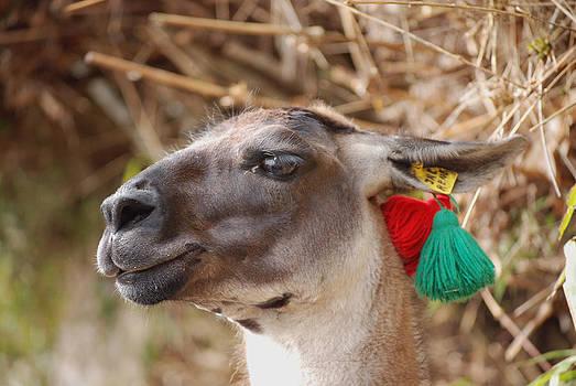 Harvey Barrison - Llama of Machu Picchu