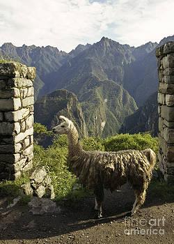 Darcy Michaelchuk - Llama on the Inca Trail