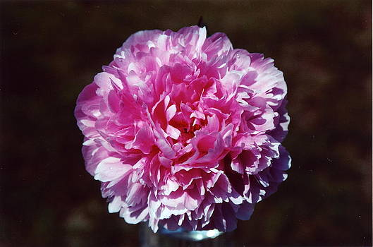 Lone Peonies by Andrea Lucas