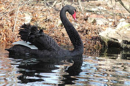 Lonely Swan 2 by Glenn Lawrence
