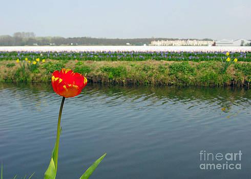 Ausra Huntington nee Paulauskaite - Lonely Tulip
