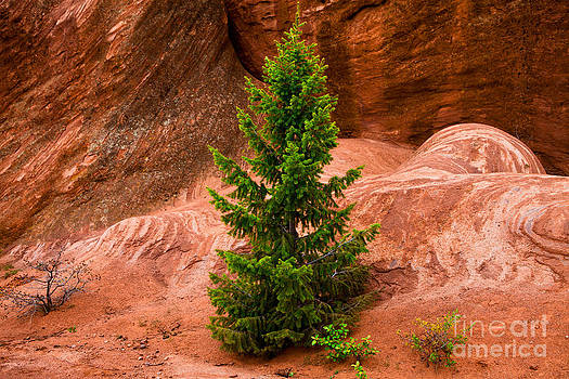 Lonesome Pine by Barbara Schultheis