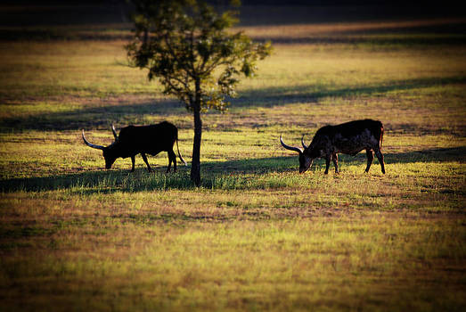 Long Horns Grazing by Kelly Rader