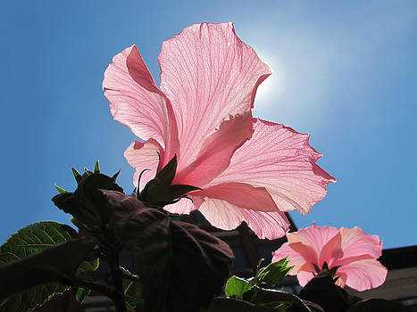 Chantal PhotoPix - Looking Towards the Heavens - Pink Hibiscus Flower under a Blue Sky on a Sunny Day