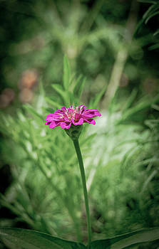 Lost Zinnia by Swift Family
