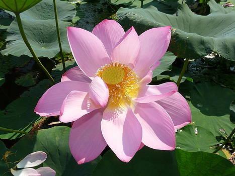Lotus 1 by Susan McNamara