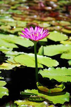 Lotus by Ama Arnesen