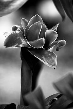 Lotus by Darren Strubhar