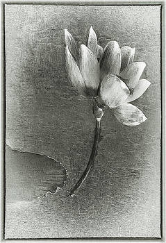 Lotus Dream In Black And White by Jill Balsam