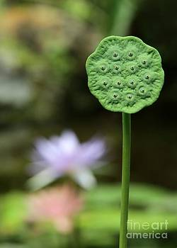 Sabrina L Ryan - Lotus Seed Pod in the Lily Pond