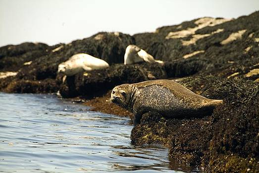 Lounging Seals by Rick Frost