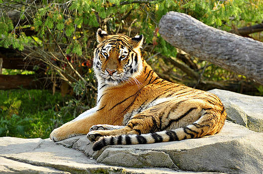 Lounging Tiger by Michael Austin