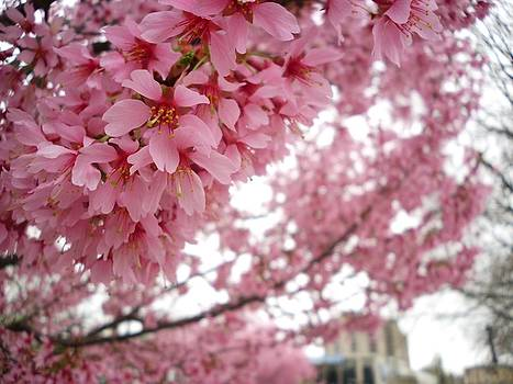 Lovely Cherry Blossoms by Timothy Jones
