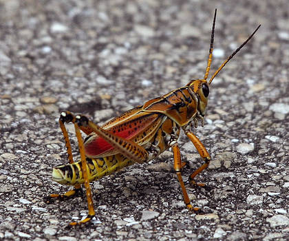 Lubber Grasshopper by Monica Lahr