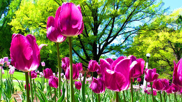 Chantal PhotoPix - Luminous Purple Tulips in a Flower Garden and Sunny Green Trees under a Blue Sky