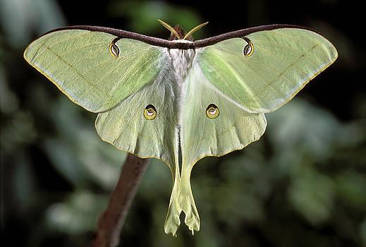 Luna Moth - Actias luna by Phil Degginger