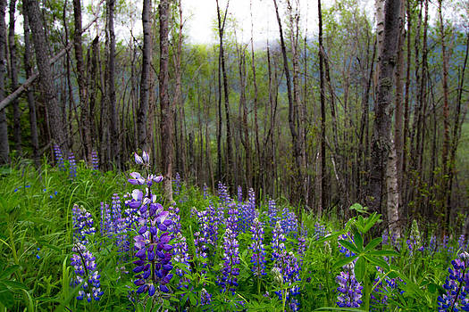 Lupin Forest by Kelly Turnage