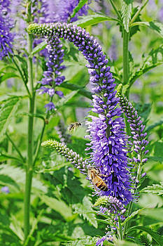 Lupines and Bees by Sandi Blood
