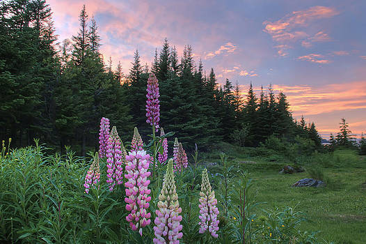 Lupins by Spencer Dove