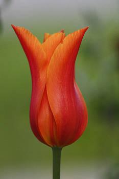 Cathie Douglas - Luscious Orange Tulip
