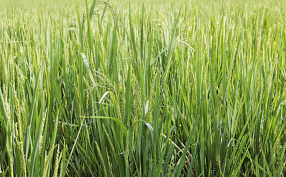 Kantilal Patel - Lush Green Rice Paddy Fields