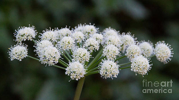 Lyall's Angelica by Katie LaSalle-Lowery