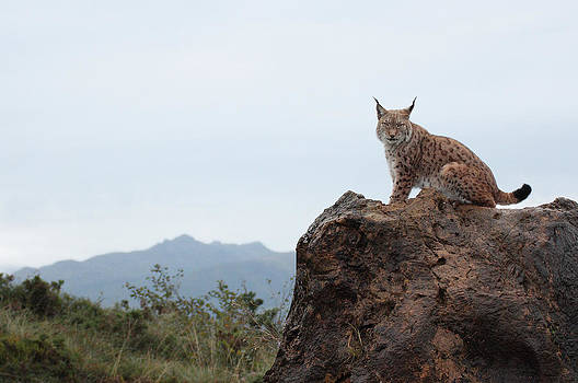 Lynx by Funcards