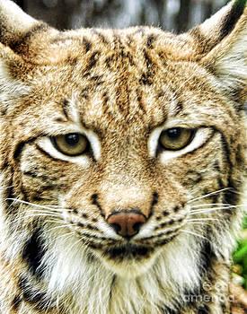Anne Ferguson - Lynx Portrait