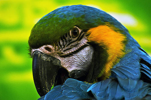Macaw by Cheryl Cencich