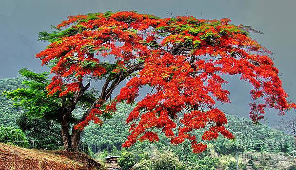 Roy Foos - Mae Sairang Tree