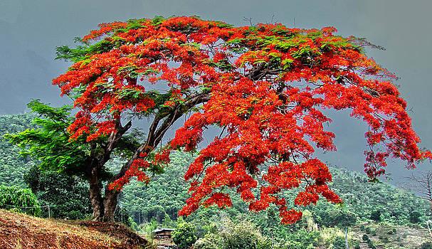 Roy Foos - Mae Sariang Tree