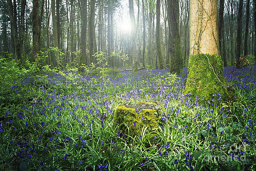 Magical Bluebell Forest in Kildare Ireland by Catherine MacBride