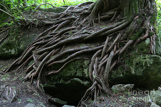 Magical Tree Roots by Chris Hill