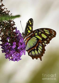 Sabrina L Ryan - Magnificant Malachite Butterfly