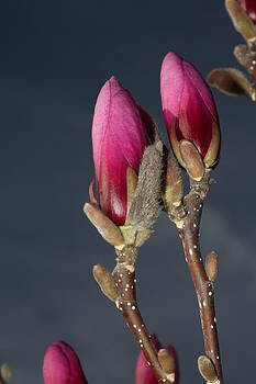 Magnolia Blossoms by Robert Morin