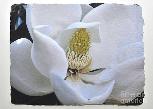 Magnolia in Spring by Gail Fischer