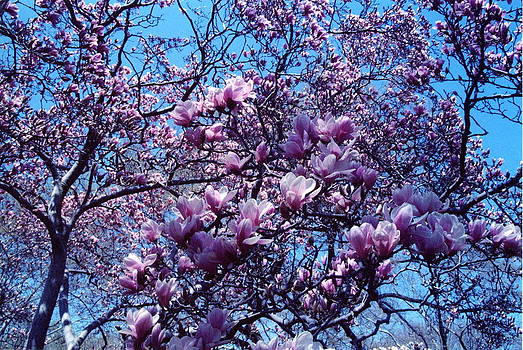 Magnolia Tree by Andrea Lucas