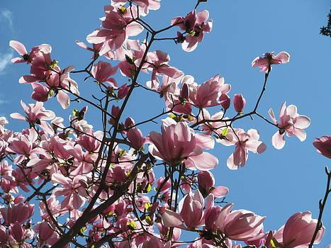 Alfred Ng - Magnolias heaven