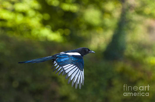 Magpie by Andrew  Michael
