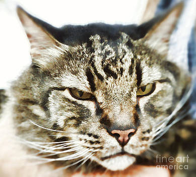 Maine Coon Beauty by Nora Martinez