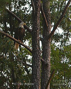 Clayton Bruster - Majestic Bald Eagle