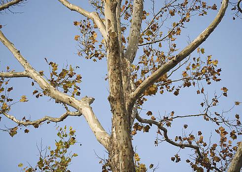 Majestic Birch by Lisa Missenda