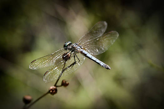 Majestic Dragonfly by Theresa Johnson