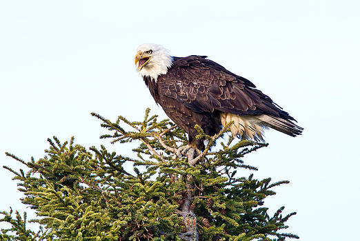 Majestic Eagle by Craig Brown