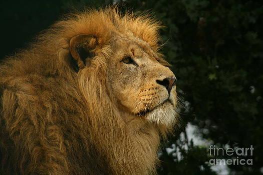 Majestic Lion by Carol Wright