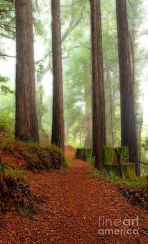 Majestic Redwood Sentinels by Matt Tilghman