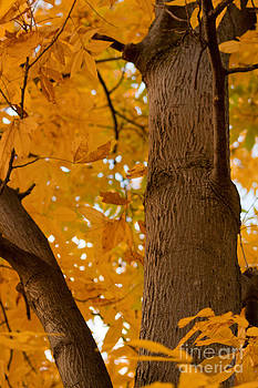 Majestic Tree in Fall by Christine Amstutz