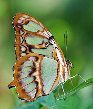 Malachite Butterfly by Marcus Taylor