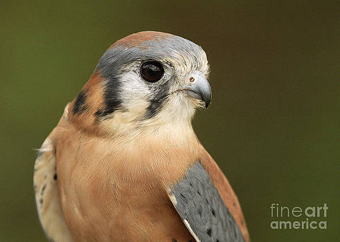 male American Kestrel by Doug Herr